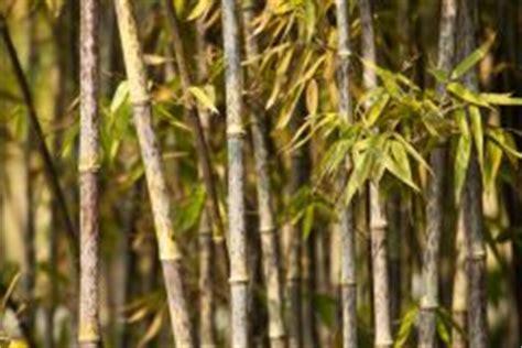 bambus krankheiten bambus w 228 chst nicht 187 woran kann das liegen