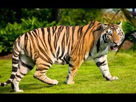 suara harimau tiger mp3 free download hssuara harimauu download suara burung cawi pada zaman dahulu mp3 mp3 mp4