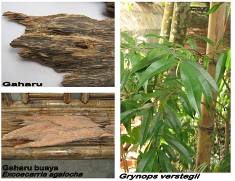 Minyak Atsiri Gaharu essential corner engineered essential