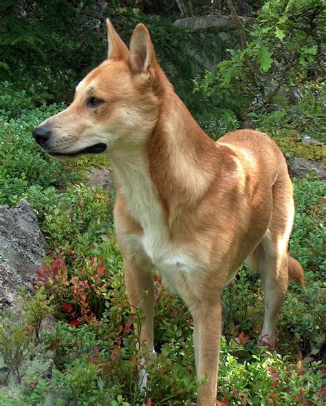 dingo puppies for sale american dingo puppies for sale breeds picture