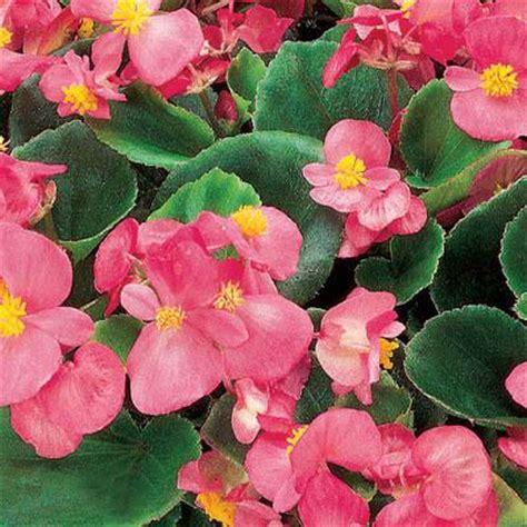 begonia ambassador pink  harris seeds