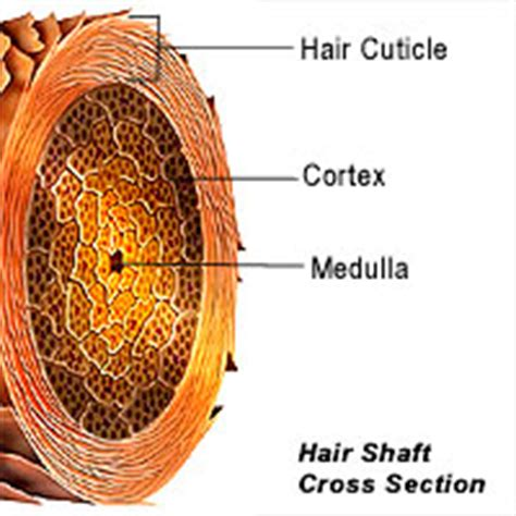 cross section of hair follicle fro envy basics human hair structure