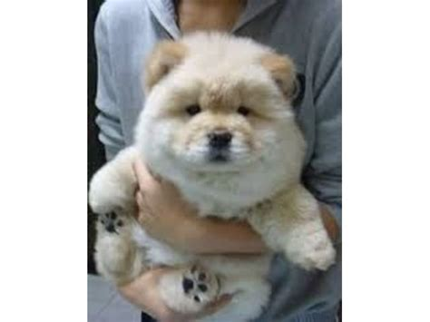 chow chow puppies for sale in pa best 25 chow puppies for sale ideas on chow chow for sale bake sale