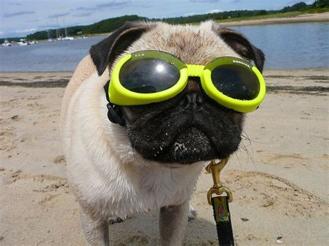 doggles for pugs 17 best images about pug clothes and costumes on apple costume