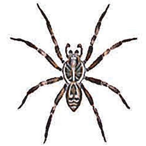 Garden Spider With White Stripe On Back Spider Identification Australian Reptile Park