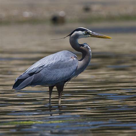 File Ardea Herodias Coleman Beach By Mike Baird Jpg Blue Heron