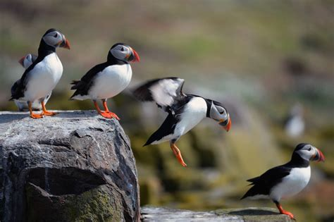 puffins facts figures and trivia shared through national