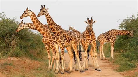 animal african giraffe living  savannah  forests