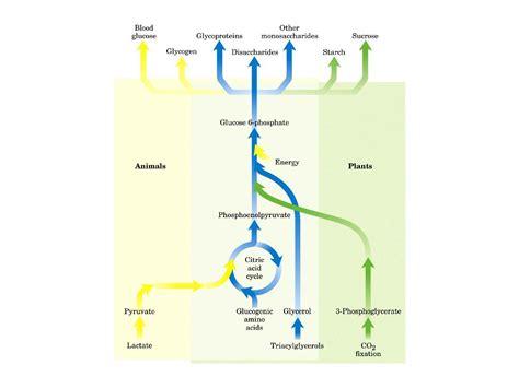 dispense biochimica glicogeno gluconeogenesi e glicogeno dispense