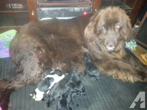 newfoundland puppies ny beautiful newfoundland puppies for sale in elmira new york classified