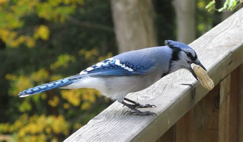 file blue jay with peanut jpg wikipedia