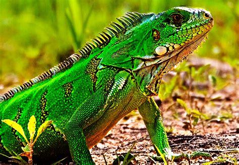 imagenes de iguanas rojas cu 225 l es el mejor alimento para iguanas verdes 161 te lo