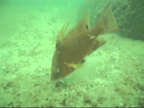 hogfish feeding at egmont key reef youtube