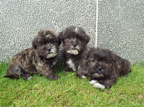 miniature shih tzu span information about schnau tzu schnauzer mixed with shih tzu