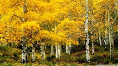 autumn birch wallpaper 881893
