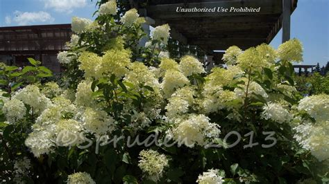 Gardens West Bloomfield by Plantfiles Pictures Panicle Hydrangea Tree Hydrangea
