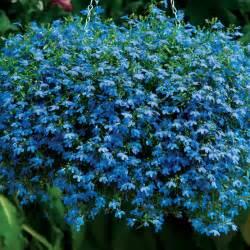 lobelia fine gardening
