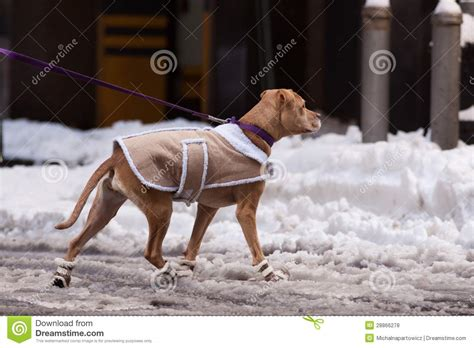 dogs walking in shoes in the jacket and shoes royalty free stock photos image 28866278