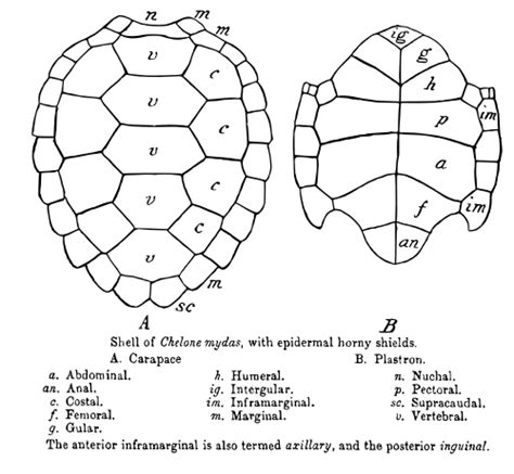turtle shell template palaeos vertebrates chelonii chelonioidea