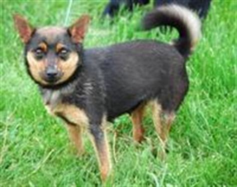 pinscher pomeranian mix new animal rescue finds 100 homes for dogs in 6 months