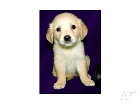 golden retriever puppies for adoption in ready for adoption golden retriever mixed coat named picture breeds picture
