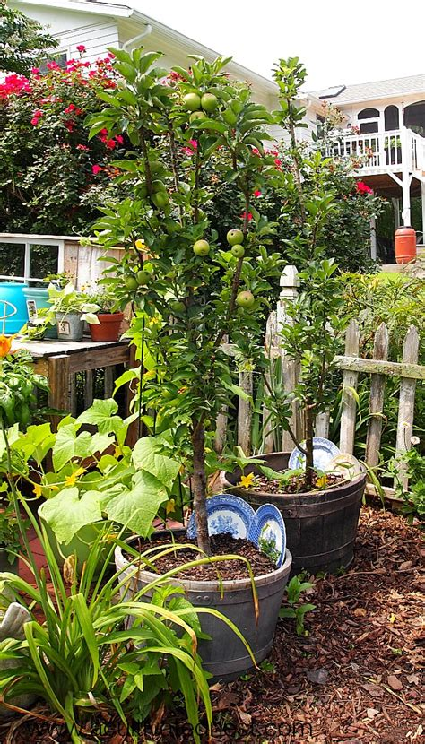 tree container apple trees that grow in pots apple tree growing apple