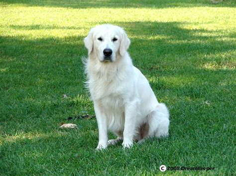 golden retriever light golden light golden retrievers www pixshark images galleries with a bite