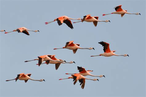 chilean flamingo phoenicopterus chilensis biology b final project