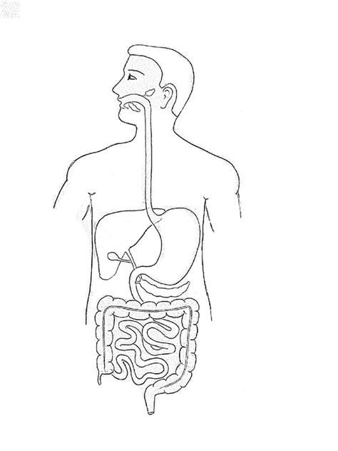 outline diagram outline of human digestive system diagram www pixshark