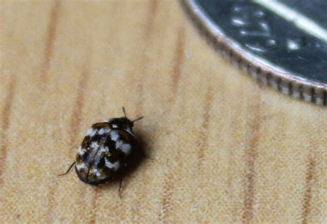 rug beetles varied carpet beetle what s that bug