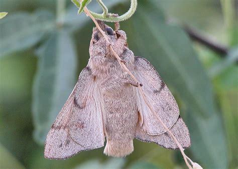 gum snout moth entometa fervens