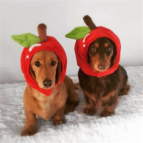 apples for dogs 85 best best pet costumes images on animal