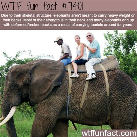 8 Facts On Elephants by Why You Shouldn T Ride On Elephants Facts Animals
