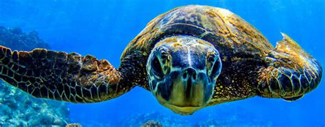 snorkel tours kona kohala turtle dolphin snorkel cruises - Big Island Catamaran Snorkel