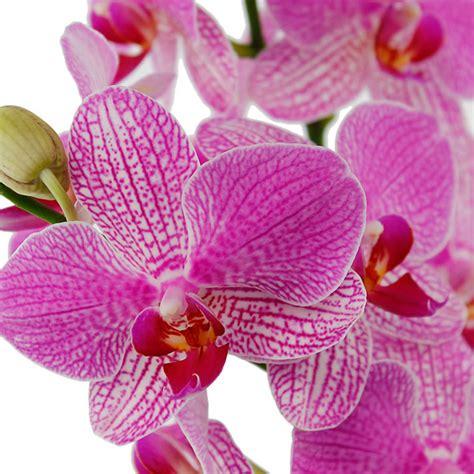 bloemen ziektes orchidee phalaenopsis verzorging tips 123planten nl