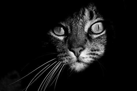imagenes en blanco de gatos fotos de gatos en blanco y negro
