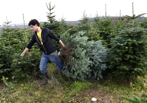 cut down your own christmas tree edmonton list of places you can chop your own tree around buffalo ny