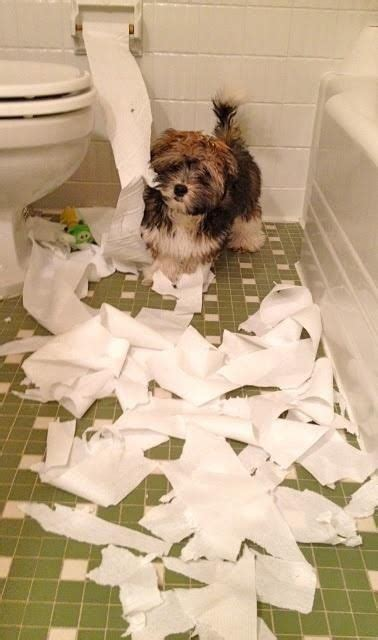 havanese puppies scotland papel higienico havanese