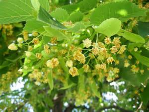 fragrant tree fragrant flower from this tree id tree