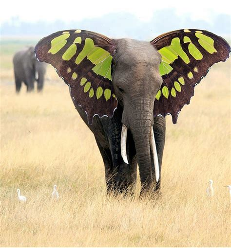 free illustration elephant ears butterfly free image