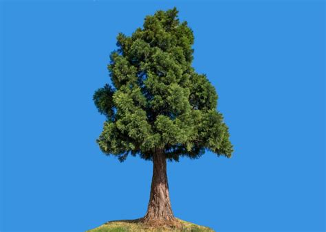 mayor  redondo beach california  killed  tree named clyde