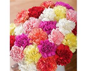 carnation colors carnations flowers different carnation colors and their