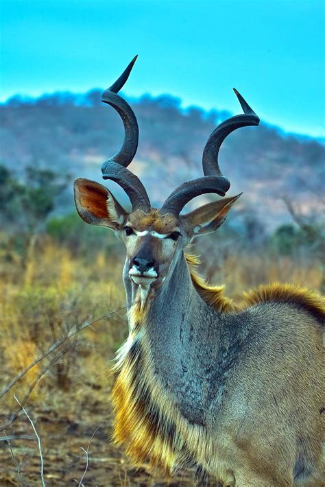greater kudu bull cold windy day img arno meintjes flickr
