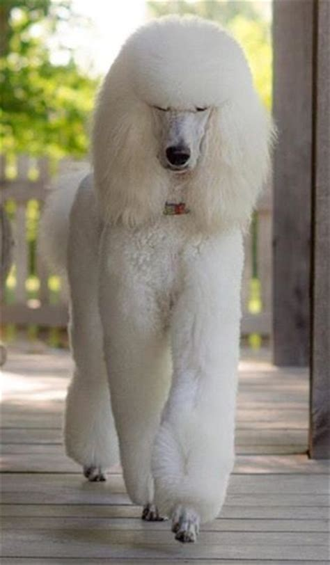 french poodle haircuts 1128 best images about standard poodles on pinterest