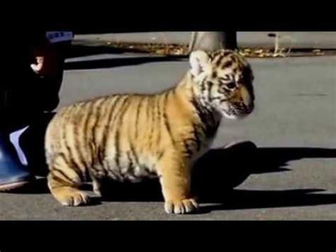 gambar wallpaper anak harimau anak harimau yang lucu dan imut youtube
