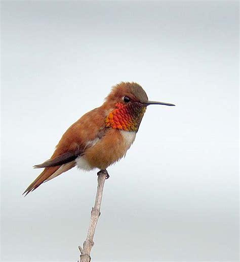 rufous hummingbird showing his colors on the oregon coast