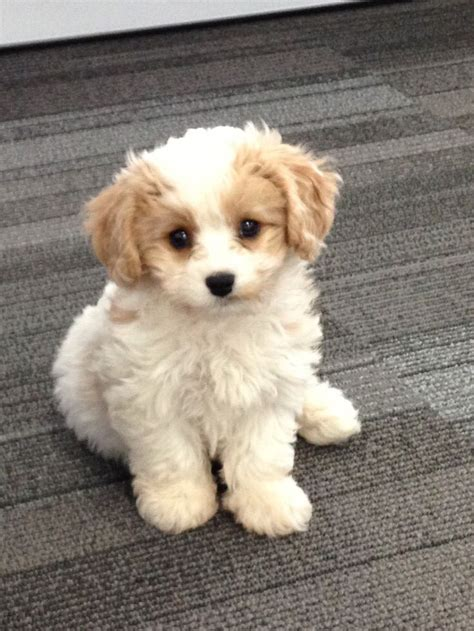 cavachon puppies apricot cavachon wanted macclesfield cheshire pets4homes