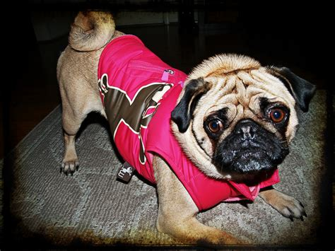 coats for pugs pugs clothes dress the clothes for your pets