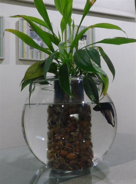 Betta Plant Vase by Betta Fish Aquarium With Water Plants Just Add Some Water