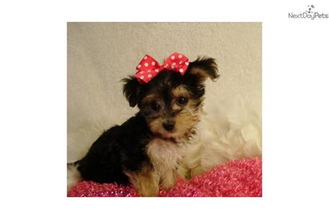 yorkies for sale in st louis mo teacup yorkie poos for sale breeds picture
